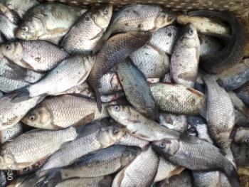 Порушники виловили 10 кг карася у річці Висунь, - Миколаївський рибоохоронний патруль