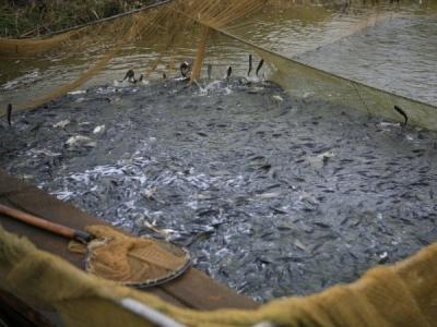 Понад 2 млн екз. риби вселено у водойми Миколаївщини від початку року