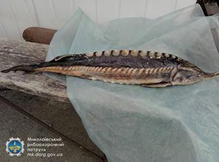На ринку Миколаєва зафіксовано незаконний збут червонокнижної риби